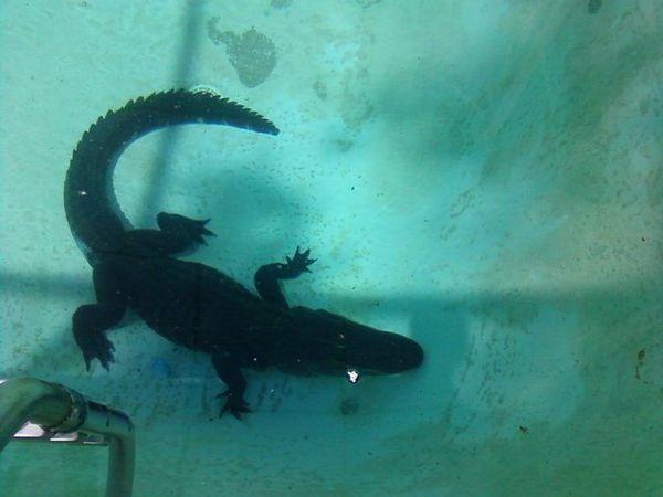 Thursday 39 S Swim Report Swimming With Gators The17thman